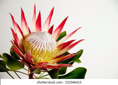 South African Protea flower photographed against light background