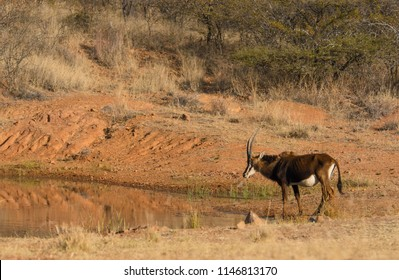 South African Sable Antelope, wild in  nature.