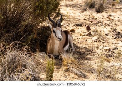 A South African Springbok in the savannah near Capetown