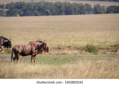 South african Wildebeest also called the gnu