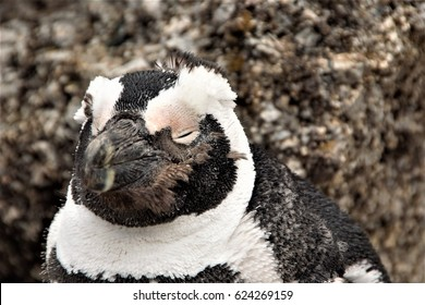 South Africa/Penguin
