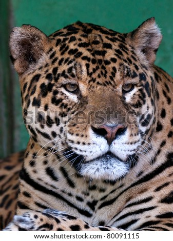 South American Cat Jaguar Portrait
