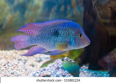 South American cichlid in aquarium (Geophagus brasiliensis)