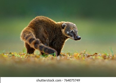South American Coati, Nasua nasua,  beautiful sun light. Wildlife scene from the nature, Pantanal, Brazil.