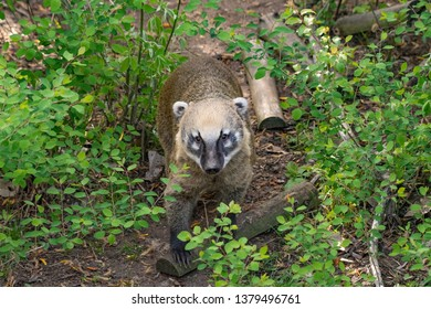 South American coati (Nasua nasua), also known as the ring-tailed coati.