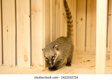 South American coati Nasua nasua , also known as the ring-tailed coati.