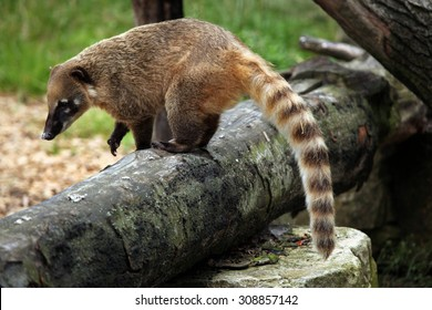 South American coati (Nasua nasua), also known as the ring-tailed coati. Wildlife animal.
