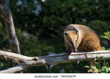 South American coati (Nasua nasua), also known as the ring-tailed coati.