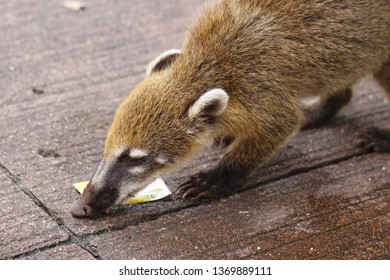 South American Coati, Nasua with long nose and cute expression of face. Brazil
