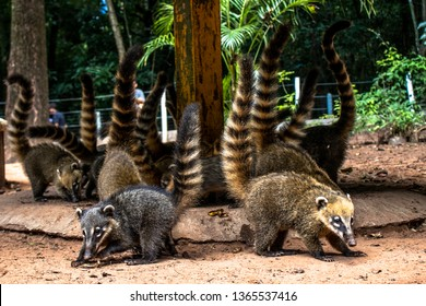 South American Coati, Nasua nasua on park in Brazil