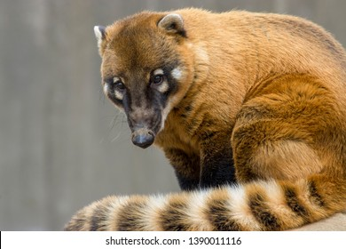 a South American coati (Nasua nasua) sits alone Dec 9th 2018