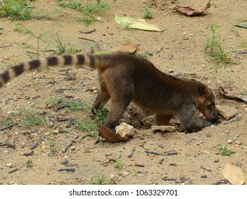 South American coati, or ring-tailed coati (Nasua nasua) is a species of coati, members of the raccoon family (Procyonidae).  Amazonas, Brazil
