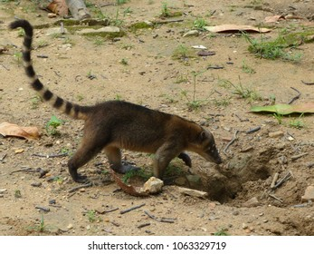 South American coati, or ring-tailed coati (Nasua nasua) is a species of coati, members of the raccoon family (Procyonidae).  Amazonas, Brazil