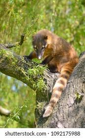 South American Coati, or Ring-tailed Coati (Nasua nasua) on branch tree