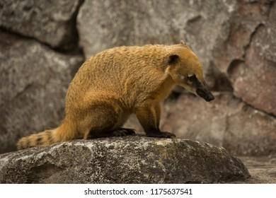 South American coati, ring-tailed coati (Nasua nasua).