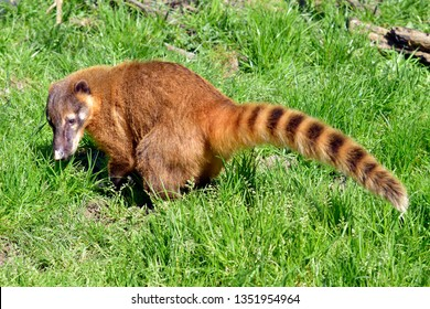 South American Coati, or Ring-tailed Coati (Nasua nasua) seen from profile on grass