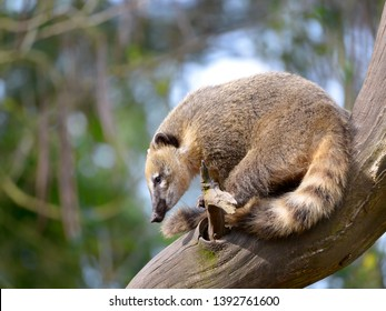 South American Coati, or Ring-tailed Coati (Nasua nasua), lying on branch tree