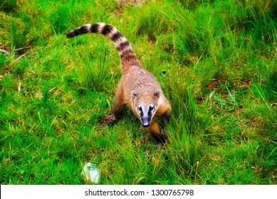 South American coati, or ring-tailed coati photographed in Espírito Santo, Brazil. Picture made in 2008.