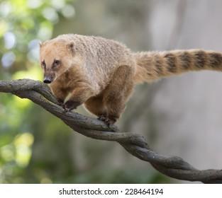 South American Coati walking on a vine