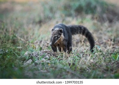 South American Coati,looking for insects,Pantanal,Brasil
