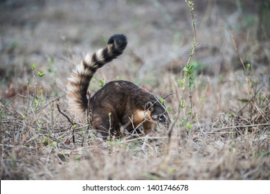South American Coati,looking for insects,Pantanal,Brazil