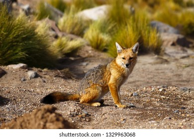 South American fox, called zorro in Spanish, lives in the desert highlands of northern Chile