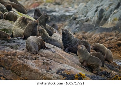 South American Fur Seal (Arctocephalus australis), , Beagle Channel, Ushuaia, Tierra de Fuego, South America, Argentina.