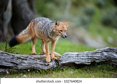 South American Gray Fox (Lycalopex griseus)