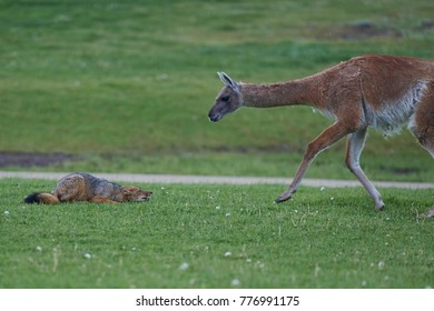 South American Grey Fox (Lycalopex griseus) crouching in front of a Guanaco (Lama guanicoe) in Valle Chacabuco, northern Patagonia, Chile.