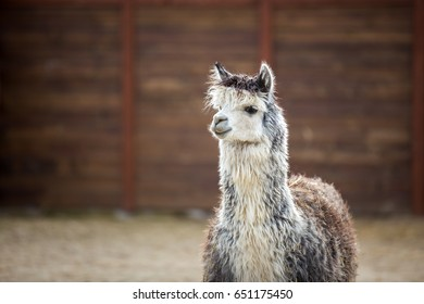 The South American pack-animal of the family. Camels with valuable wool. funny alpaca smile and teeth white llama close-up