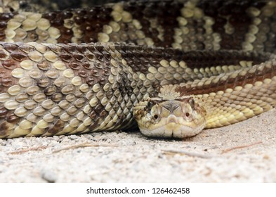 A South American rattlesnake (Crotalus durissus) looking at the viewer.