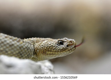 South American rattlesnake (Crotalus durissus unicolor) close up. Dangerous poison snake from Aruba island.