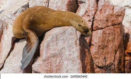 South American sea lion (Otaria flavescens), sleeping on a rock on the Islas Ballestas, a popular tourist destination in Peru