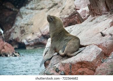 South American sea lion in Peru, Islas Balestas
