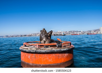 South American Sea Lions on a buoy on the water near Valparaiso.