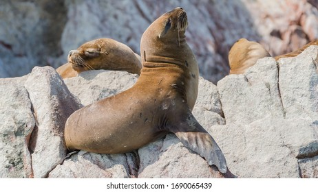 South American sea lions (Otaria flavescens), sleeping on a rock on the Islas Ballestas, a popular tourist destination in Peru