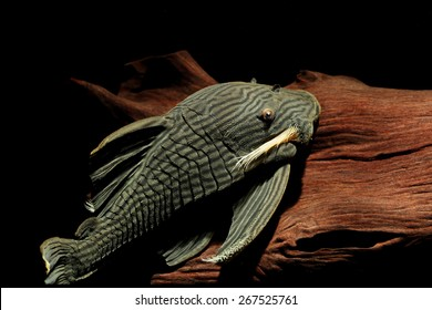 South American suckermouth armoured catfishes