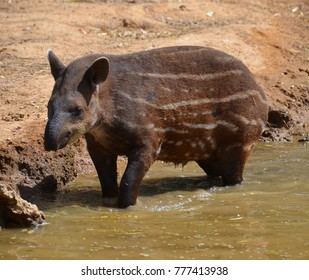 The South American tapir, Brazilian tapi, lowland tapir or anta, is one of five species in the tapir family, along with the mountain, the Malayan, the Baird's tapirs and the kabomani tapir