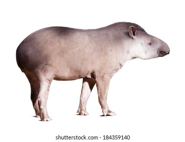 South American tapir. Isolated over white background with shade