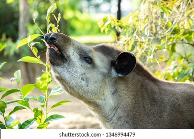 South American Tapir Tapirus terrestris