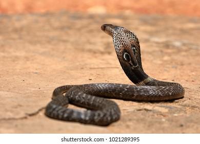The South Asian cobra  in Sri Lanka
