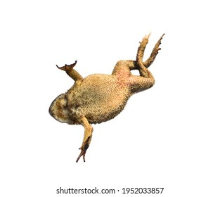 South Asian garden toad (Bufo melanostictus) from Vietnam. The amphibians is isolated on a white background. View from the belly side