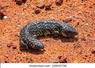 South Australia – Outback desert with a shingleback lizard as closeup on red soil