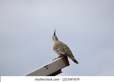 South Australian wildlife, crested pigeon tippy topknot, perched on metal post against backdrop of grey sky
