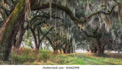 South Carolina Lowcountry Live Oak Tree Tunnel with Spanish Moss at Sunset