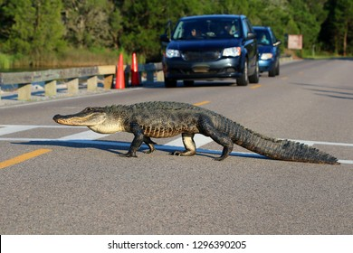 South Carolina wildlife nature background. American alligator is crossing the road between marshes at the Huntington Beach State Park, Litchfield, Myrtle Beach area, South Carolina, USA.