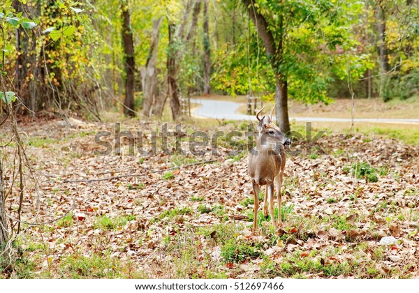 South Carolina young white tailed buck deer staring as people invade his space at the Riverwalk Piedmont Medical Trail in Rock HIll, SC.
