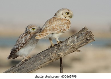 South Desert / Qatar – May16, 2015: a pair of two little Owls perching over dry branch at the desert of Qatar / Two little Owls Together.