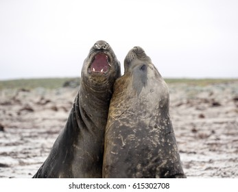 South duel between two male South Elephant Seal, Mirounga leonina, Sea Lion Island, Falkland  - Malvinas