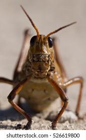 South Eastern Lubber Grasshopper